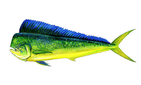 Coryphaena-hippurus