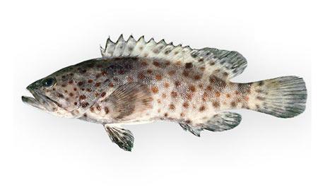 Epinephelus-coioides