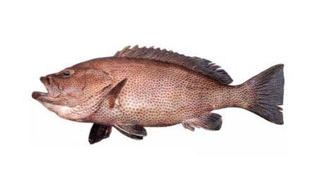 Epinephelus-multinotatus