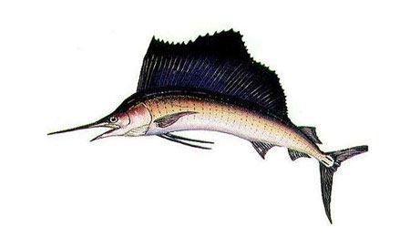 Istiophorus-platypterus