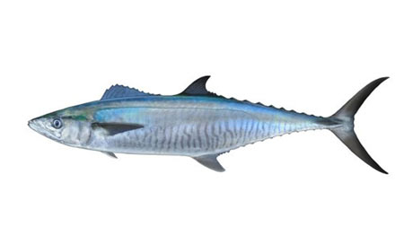 Scomberomorus-commerson