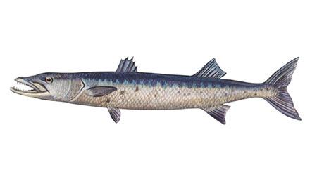 Sphyraena-barracuda